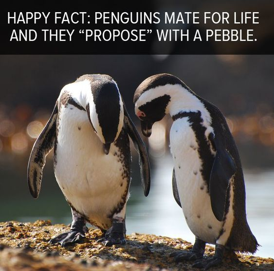 "Happy fact: Penguins mate for life and they ""propose"" with a pebble. I LOVE THIS SO MUCH!:"