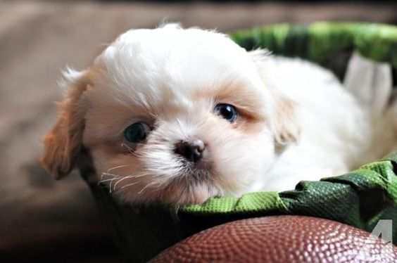 Sweetest AKC Imperial Shih Tzu Baby - RARE color and