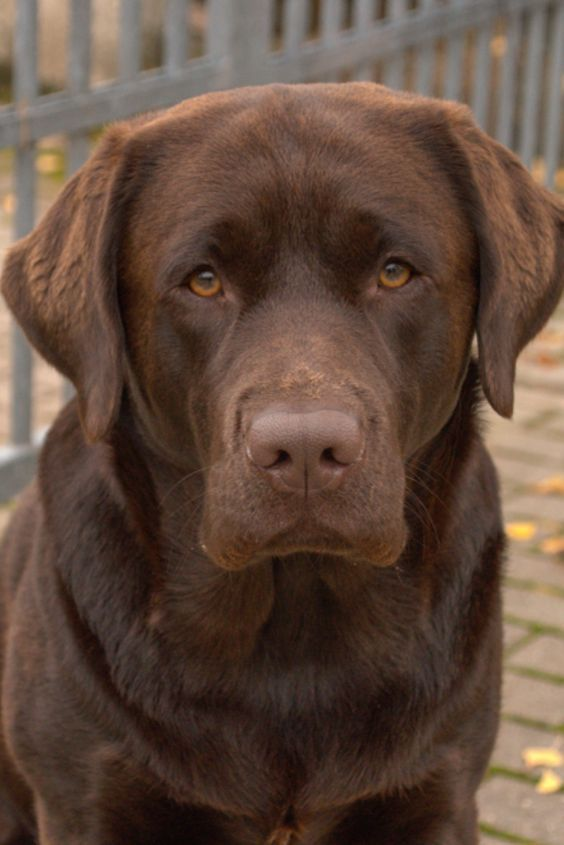 Pin By Ann Pierce On Labradors In 2020 Chocolate Labrador Retriever Labrador Retriever Labrador