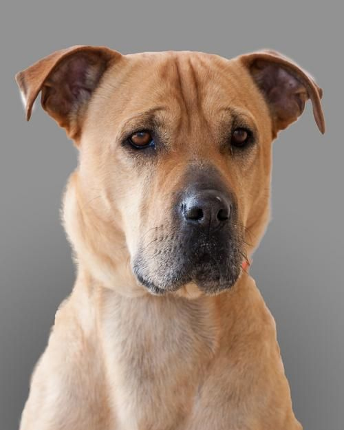 Dog Ready For Adoption Shar Pei Labrador Retriever Mixed Short Coat Named Ben Of Greenbriar In Garner Nc Dog Adoption Dogs