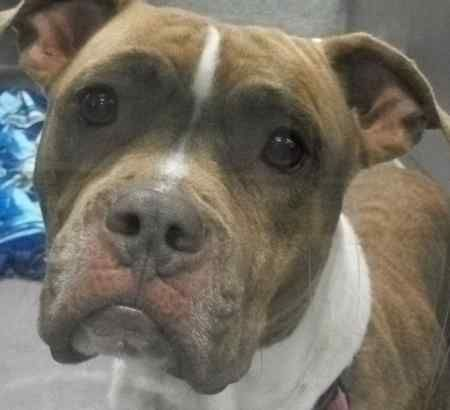 Adopt Shea, a Dog at Maryland SPCA Rescue Dogs