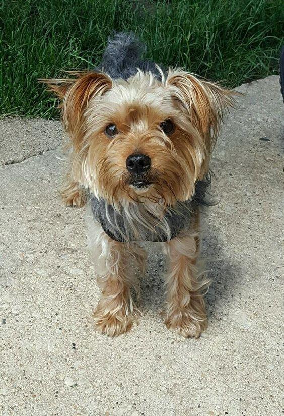 Adopt Kingsley On Petfinder Yorkshire Terrier Yorkie Yorkshire Terrier Yorkie
