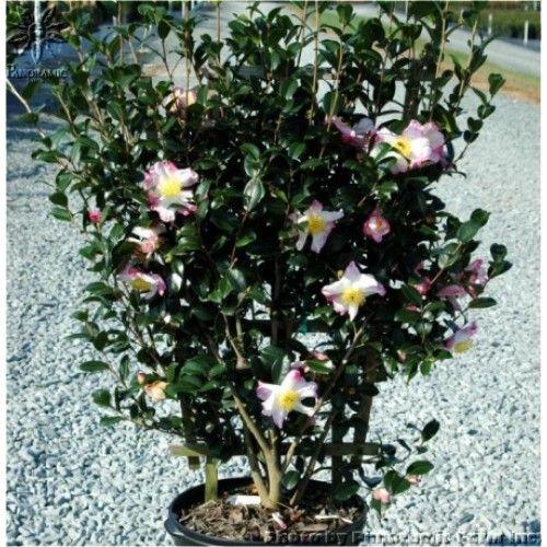 Espalier Fruit Trees Fruit Trees For Sale Screen Plants Plants