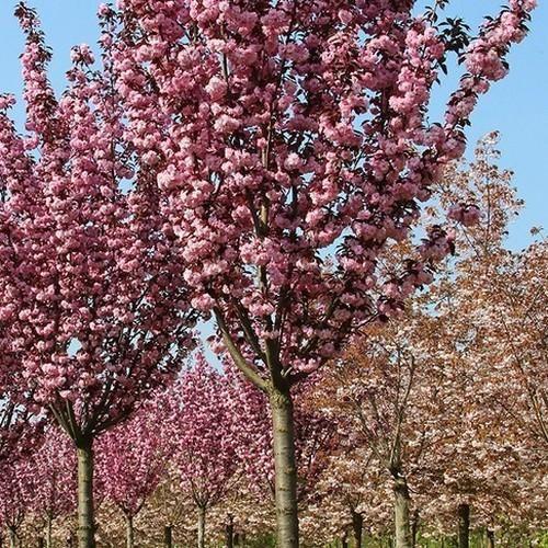 Flowering Cherry Flowering Cherry Tree Prunus Serrulata Tree Seeds
