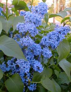 Blue lilacs!  A website tells me lilacs are in season in November.  Maybe in Australia...  I don't know about them but our lilac bush blooms in May/June!  For about 2 weeks, if that.  But if they're in season, I would love to include them somehow!  Remind me of home...: