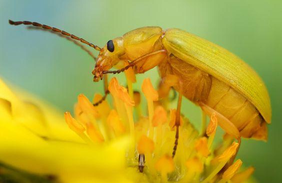 Sulphur Beetle