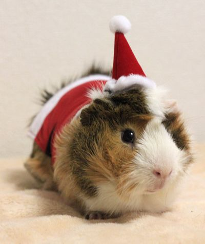 Guinea Pig Costume (Santa Hat+Coat), $17.50