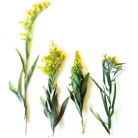 different types of goldenrod : seaside . rough stemmed . sweet + grass leaved goldenrod