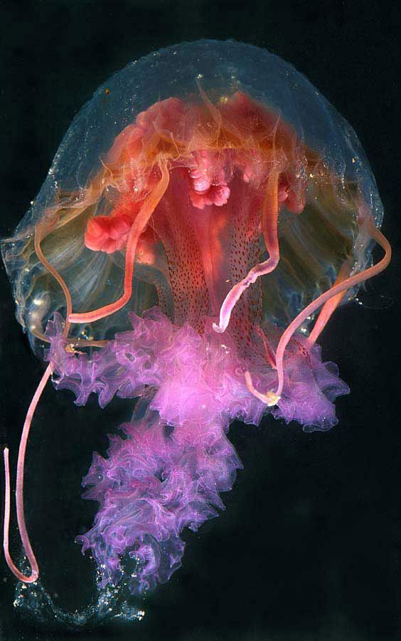 Mauve Stinger Jellyfish (pelagia noctiluca). a smallish jelly, 5-12 feet in diameter and very poisonous. Living at a depth of 100-200 feet in the Pacific Ocean, they eat small fish and moon jellyfish.