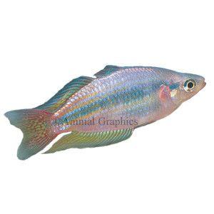 Australian rainbowfish diet flake frozen freeze dried for Petsmart fish guarantee