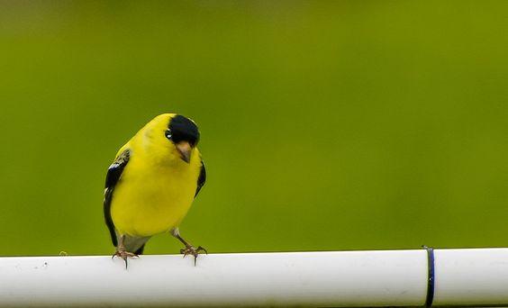 Wild Canary male