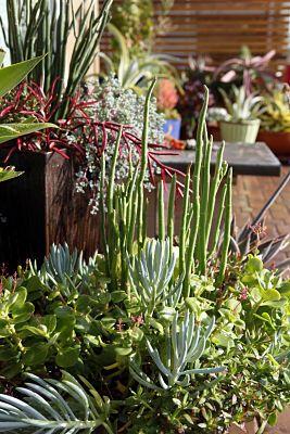 Succulent Garden: Gardening Succulents, Succulents Gardens, Succulent Gardens, Beautiful Succulents, Design Succulent, Garden Design Ideas, Plants Garden, Cacti Succulents