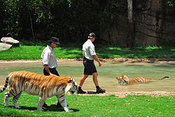 Tiger Island in Australia.  Someday I will get to walk with my favorite animals!