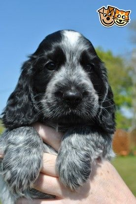 4 Showline Blue Roan Cocker Spaniel Puppies Kc Reg Spaniel Puppies Blue Roan Cocker Spaniel Cocker Spaniel Puppies