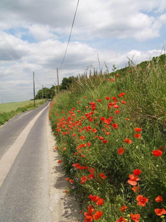 Poppies on Knowle road Burham Kent [shared]