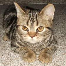 American Shorthair Pictures - #americancurl #catbreeds #typesofcats - Different type of cats Catsincare.com