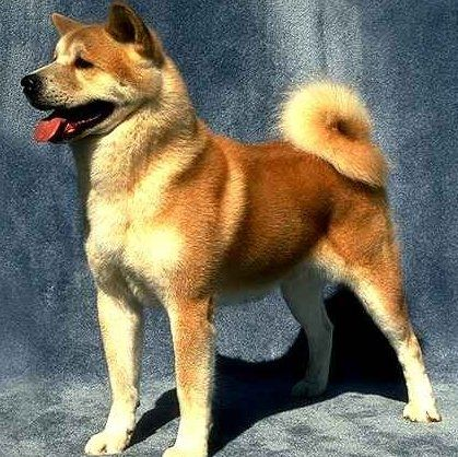 Exercise and the Akita