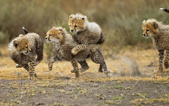 Cheetah cubs romp on the savanna « Hungeree