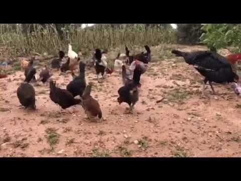 تربية الدجاج البلدي في البادية 2020 Youtube Soccer Field