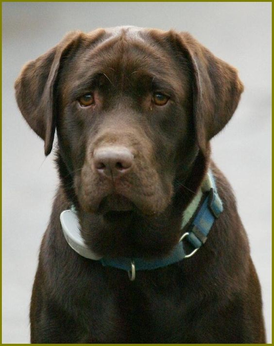 Sweetwater Labradors Chocolate Labradors Stevensville Md