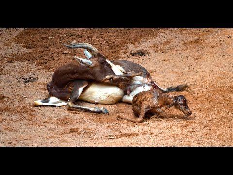 Visitors Watch Blesbok Give Birth - ZooBorns