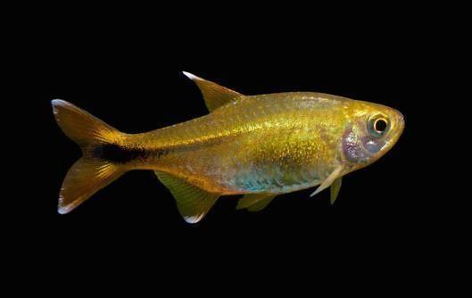 Silver Tip Tetra Live Freshwater Aquarium Fish Aquarium Fish Tetra Fish Beautiful Fish