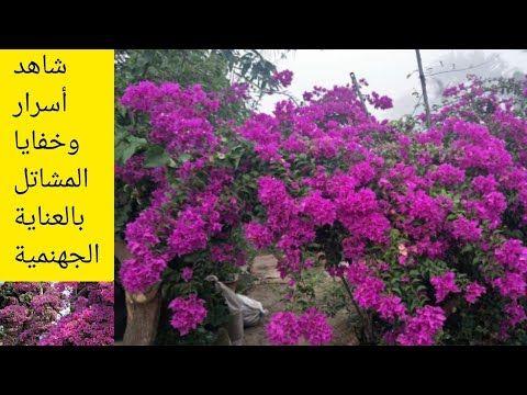السر الذي يخفيه عليكم أصحاب المشاتل نبات الجهنمية Bougainvillea Youtube Plants Creative Enjoyment