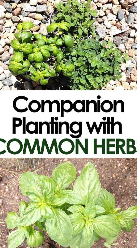 Companion Planting Herbs And Vegetables Is A Great Way To Help Your Vegetables Grow Better And In 2020 Herb Companion Planting Garden Companion Planting Planting Herbs