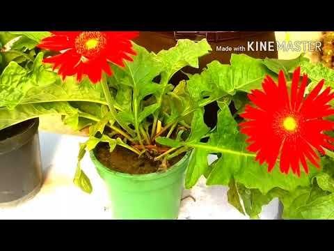 Gerbera Ki Care Kaise Kare Growing And Caring Tips Of Gerbera Hindi Urdu Youtube Gerbera Planting Flowers Growing