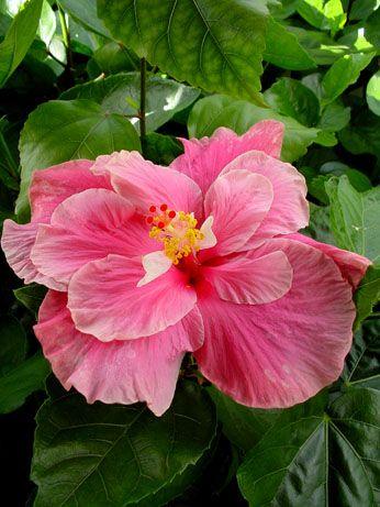 Hibiscus 'Bob's Delight'