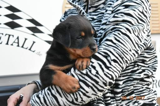 Rottweiler Puppy For Sale In Waterford Mi Adn 60624 On