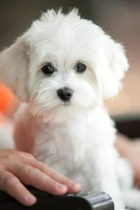 Maltese puppy named Ziggy Maltese Pinterest Pets