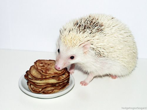 Since hedgehogs are lactose intolerant they cannot have regular pancakes. But there's another way to make pancakes for your quilled friend! You will need: • one banana • two eggs • olive oil •...