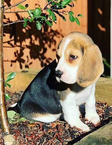 Cute Beagle Pup Sitting In A Mulch Bed Beagle Puppy Cute