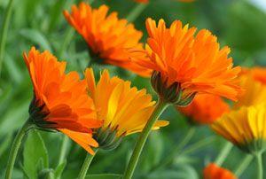 Heilkräuter pflanzen – Sorten und deren Wirkungen