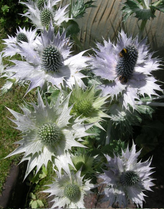 Eryngium giganteum... Miss Willmott's ghost... the bees are drugged by its nectar