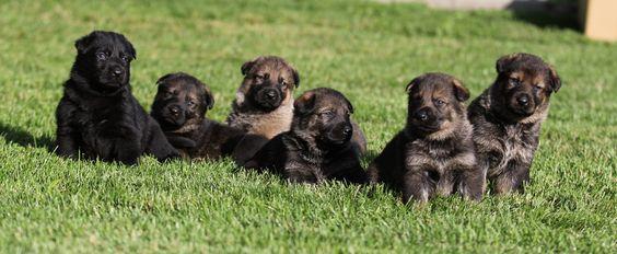 The average German Shepherd litter is 6-8 pups.