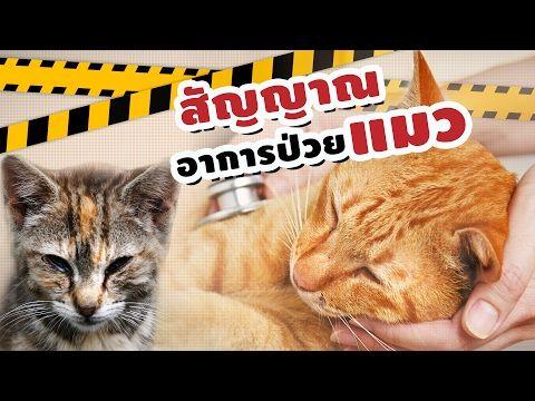 เคล ดล บส ตว เล ยง ส ญญาณอาการป วยของแมวม อะไรบ าง Youtube ส ตว เล ยง