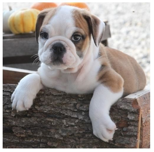 Puppies For Sale Dogs For Sale Adorable English Bulldog Puppies For Sale In 2020 Bulldog Puppies Bulldog Bulldog Puppies For Sale