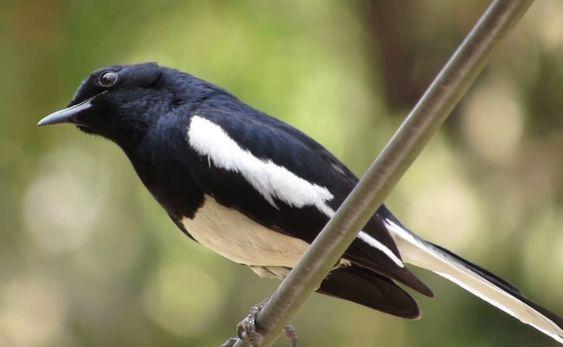 Pin Di Suara Burung Kicau