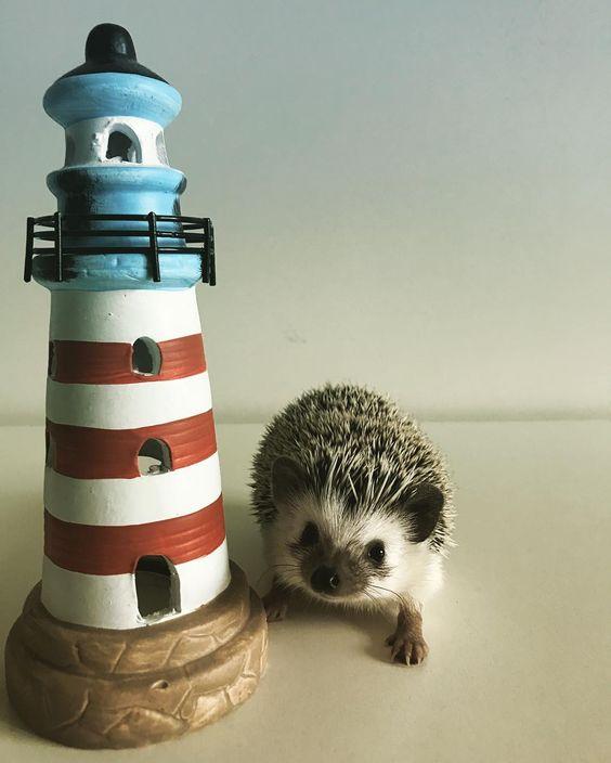 Hey human like my lighthouse? #lighthouse #cute #hedgehog #hedgehoglover #hedgehogstagram #hedgie #hedgehogdaily