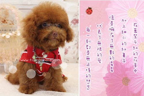 Teacup Poodle,Toy Poodles,Tiny Toys,Teacups Poodle Puppies For Sale