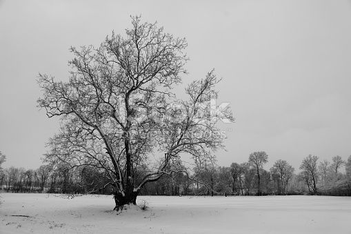 An old Sycamore Tree stands alone in a snowy pasture.