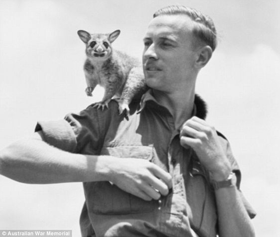 A baby possum named 'Septimus' was found and reared by Trooper V. Groves (pictured), and became the mascot of Squadron 2/9 Armoured Regiment. He is seen sitting on Groves shoulder in Queensland in 1945