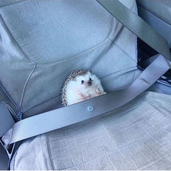 Safety first! 🙏😂 #animalsinfluence to be featured  Via @hogybaby . . . . #hedgehog #hedgehoglife #hedgehogs #cutest #hedgehoglove…