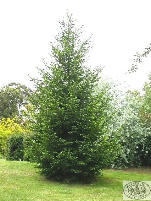 Winter Hill Tree Farm: Norway Spruce — Picea abies