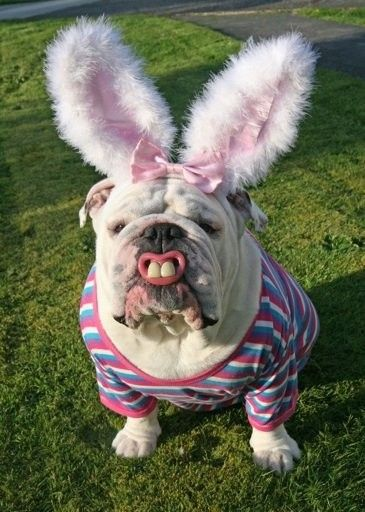 Cute bunny costume for a dog, I don't know the dog is happy, however.