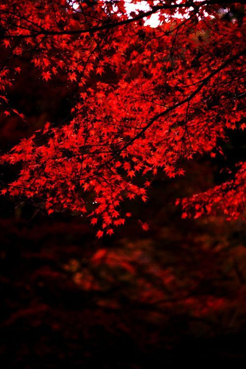 Beautiful Red Leaves Red Aesthetic Scenery Nature