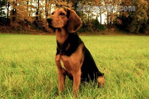 Hellenic Hound Hound Dog Breeds Dog Breeds Dog Breeds That