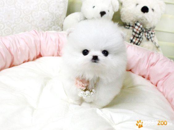 Pomeranian Boo Mini Toy Pomeranian Puppy Cute Puppies Teacup Pomeranian